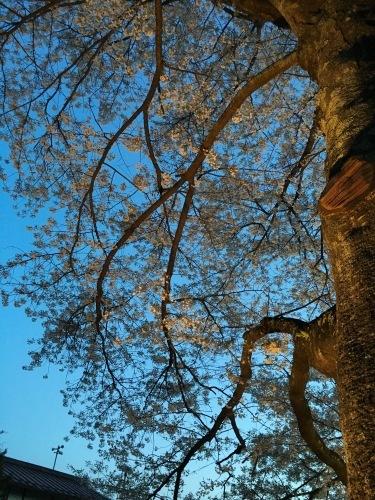 桜が咲き始めています!まだ、ほんのちょっとですが…。_b0183564_22042598.jpg