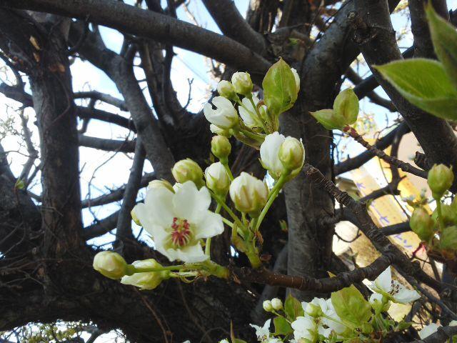 🌸 梨の花も満開「中学校入学おめでとう 🎉」自分らしく仲間と輝いて 🌟 下さい!応援しています (*^−^)ノ_f0061067_19222134.jpg
