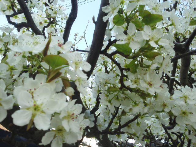 🌸 梨の花も満開「中学校入学おめでとう 🎉」自分らしく仲間と輝いて 🌟 下さい!応援しています (*^−^)ノ_f0061067_19222192.jpg