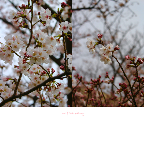 お花見 2019(もしかしてPart1)_c0156468_15462312.jpg