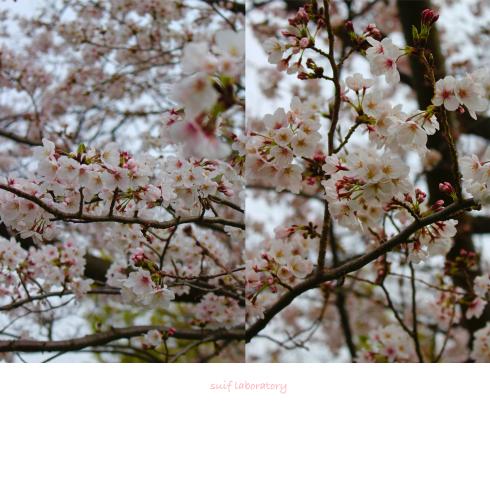 お花見 2019(もしかしてPart1)_c0156468_15464352.jpg