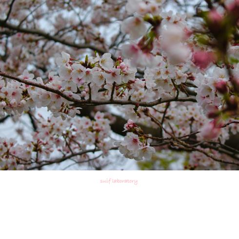 お花見 2019(もしかしてPart1)_c0156468_16101045.jpg