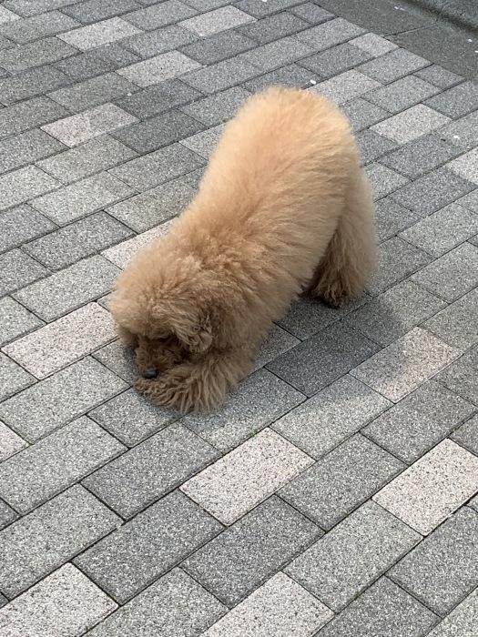 2019.4.7  休日の朝ンぽ、2時間半は当たり前の老犬たち_a0083571_17524945.jpg
