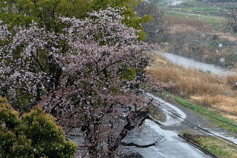 小畔川便り(ツマキチョウ飛翔・産卵:2019/4/5)_f0031682_13391664.jpg