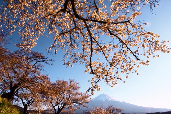 31年4月の富士(5)興徳寺の桜と富士_e0344396_16323367.jpg