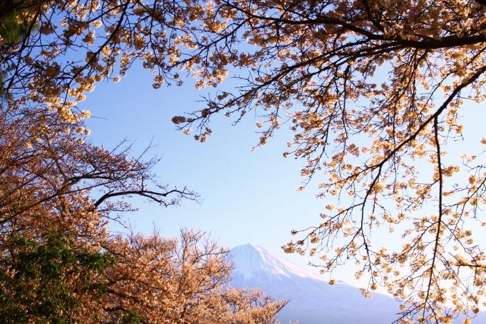31年4月の富士(5)興徳寺の桜と富士_e0344396_16324157.jpg