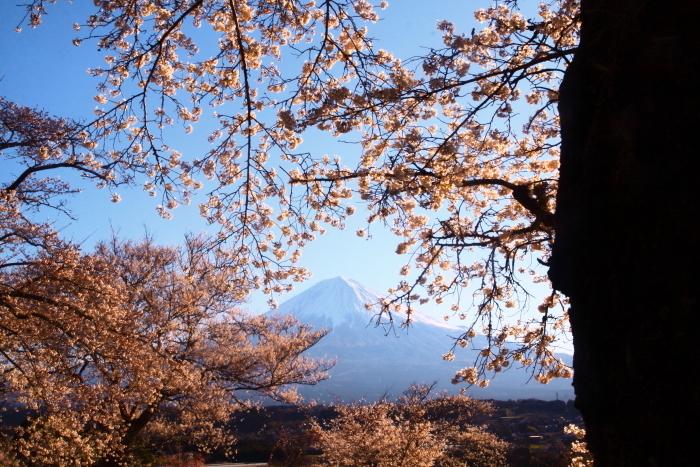 31年4月の富士(5)興徳寺の桜と富士_e0344396_16324927.jpg