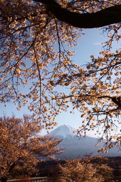 31年4月の富士(5)興徳寺の桜と富士_e0344396_16325898.jpg