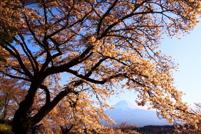 31年4月の富士(5)興徳寺の桜と富士_e0344396_16330660.jpg
