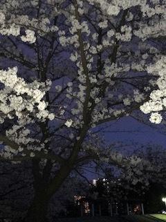 桜。_d0096499_13360645.jpg