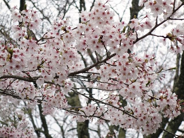 吉野山の千本桜_e0289203_14582349.jpg