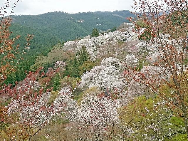 吉野山の千本桜_e0289203_15160439.jpg