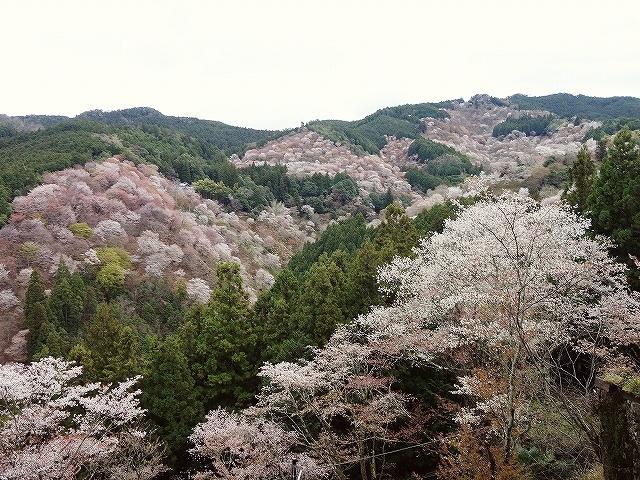 吉野山の千本桜_e0289203_15185200.jpg