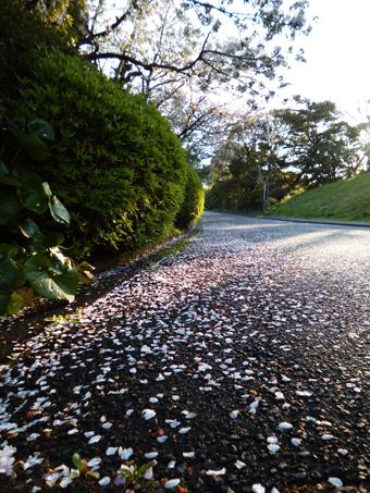 桜の花もちりました。_c0195909_09504968.jpg