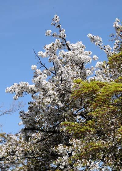 花が散った 下鴨_e0048413_22384316.jpg
