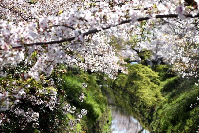 花が散った 下鴨_e0048413_22384665.jpg