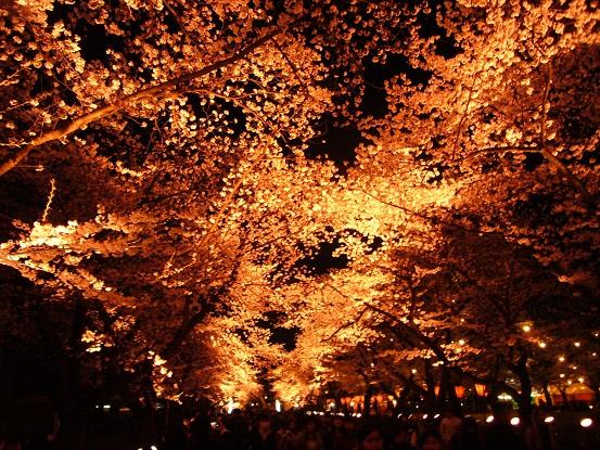 高田公園の夜桜_c0192215_8564852.jpg