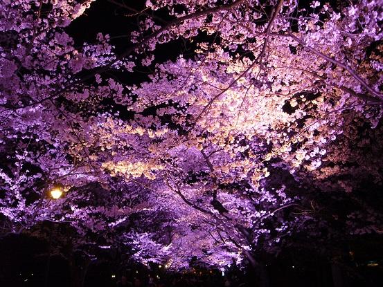 高田公園の夜桜_c0192215_8581338.jpg