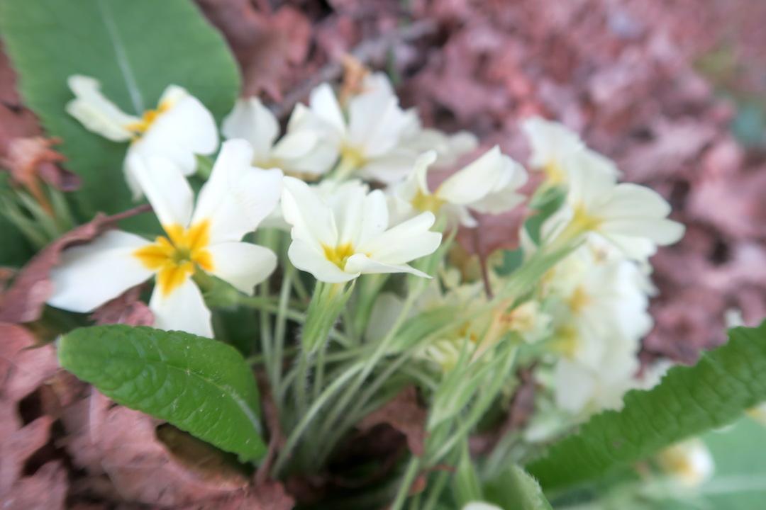 春の野の花とインフルエンザ_f0234936_0424461.jpg
