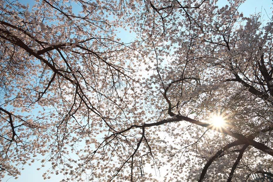 桜便り´19 #6_c0067040_23224003.jpg