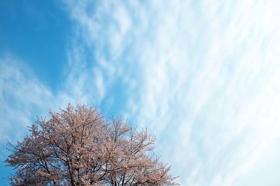 桜便り´19 #6_c0067040_23283379.jpg