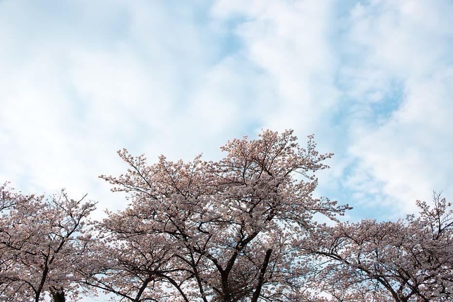 桜便り´19 #6_c0067040_23284605.jpg