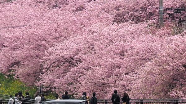 そういえば河津桜(それにしてもキンメダイ) ★今年の桜総集編その2_d0027243_10375433.jpg