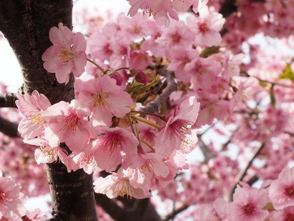 そういえば河津桜(それにしてもキンメダイ) ★今年の桜総集編その2_d0027243_10593143.jpg