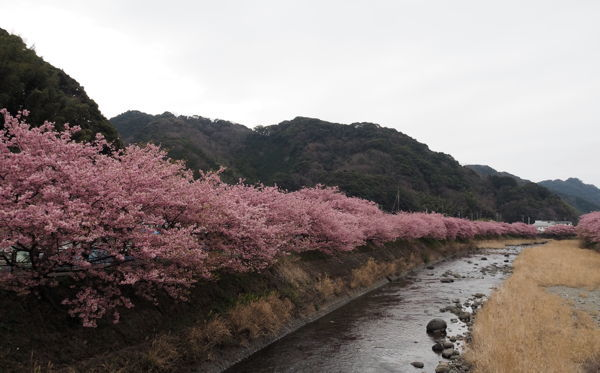 そういえば河津桜(それにしてもキンメダイ) ★今年の桜総集編その2_d0027243_11282347.jpg