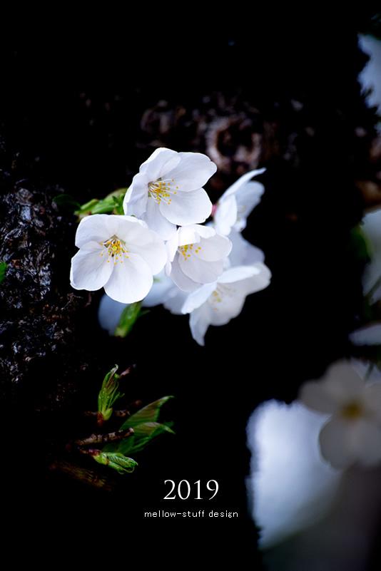 2019年の桜いろいろ。_d0124248_21123720.jpg