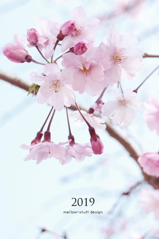 2019年の桜いろいろ。_d0124248_21125785.jpg