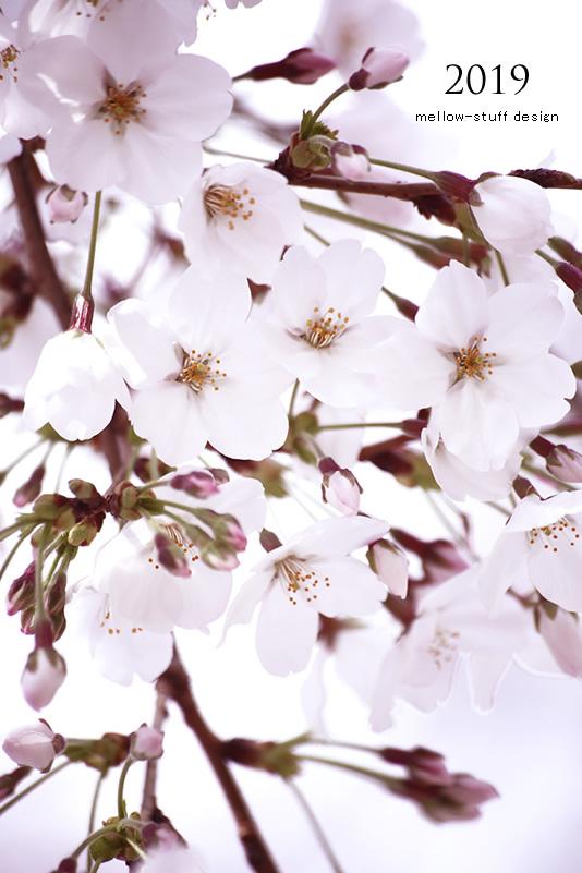 2019年の桜いろいろ。_d0124248_21131343.jpg