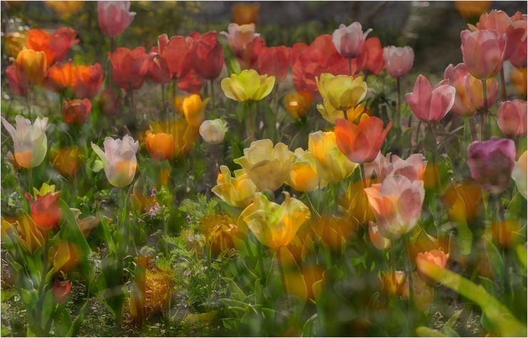 庭のチューリップ_a0256349_17501679.jpg