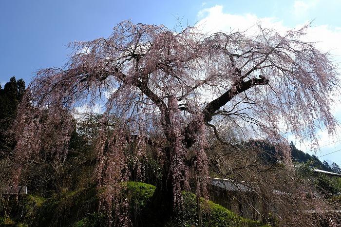桜巡り2019_e0410863_18574782.jpg
