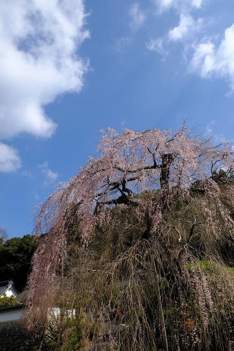 桜巡り2019_e0410863_19121183.jpg