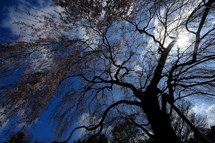 桜巡り2019_e0410863_19125548.jpg