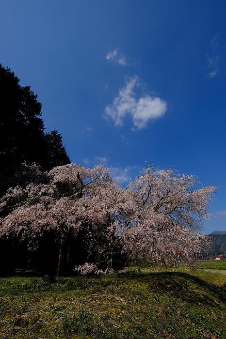 桜巡り2019_e0410863_19134207.jpg