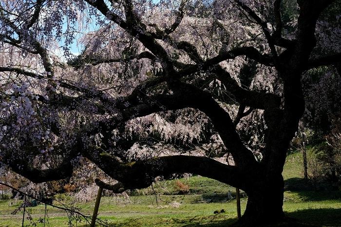 桜巡り2019_e0410863_19162452.jpg