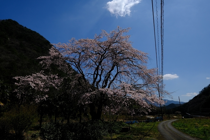 桜巡り2019_e0410863_19210591.jpg