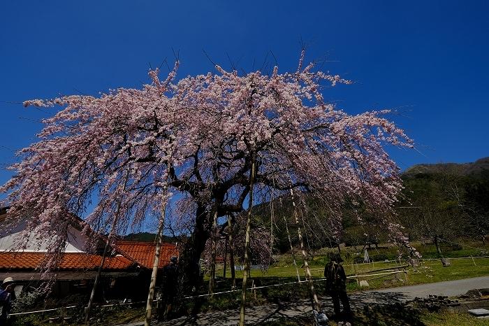 桜巡り2019_e0410863_19232620.jpg