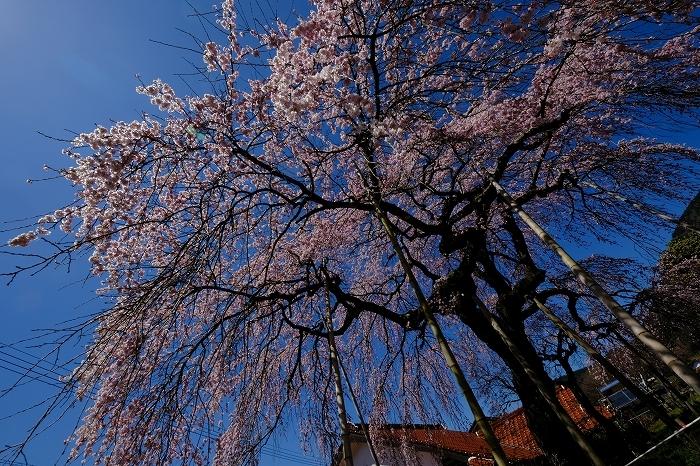 桜巡り2019_e0410863_19235403.jpg