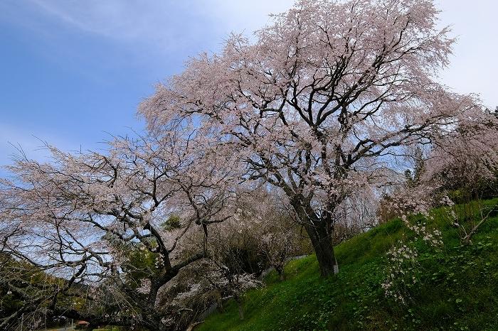 桜巡り2019_e0410863_19274164.jpg