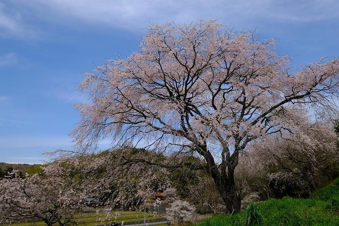 桜巡り2019_e0410863_19275801.jpg