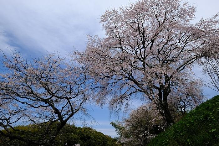桜巡り2019_e0410863_19282633.jpg