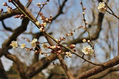 弘前城植物園オープン_2019.04.10_d0131668_16253139.jpg