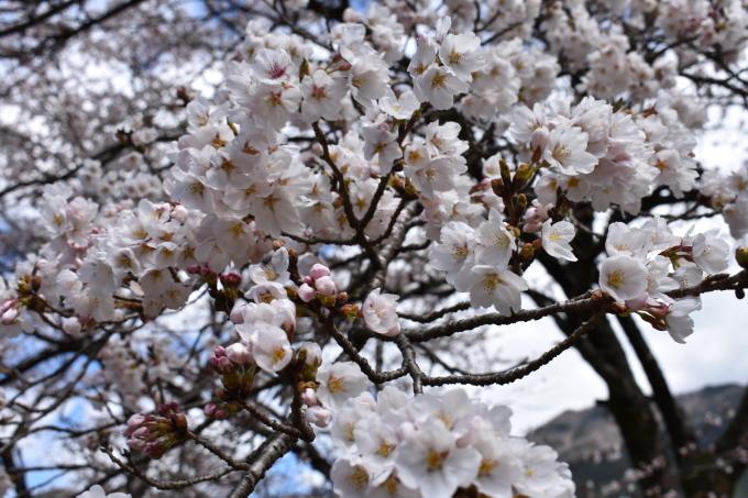 桜の開花情報_c0238069_13015341.jpg