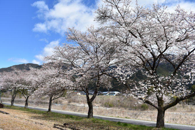 桜の開花情報_c0238069_13020624.jpg