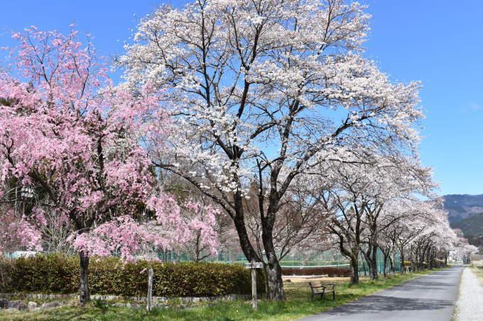 桜の開花情報_c0238069_13021637.jpg