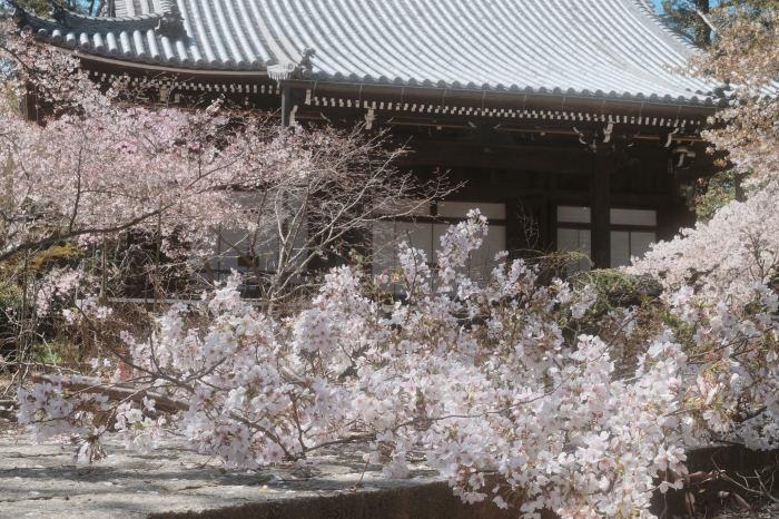 桜 2019_f0021869_23375099.jpg