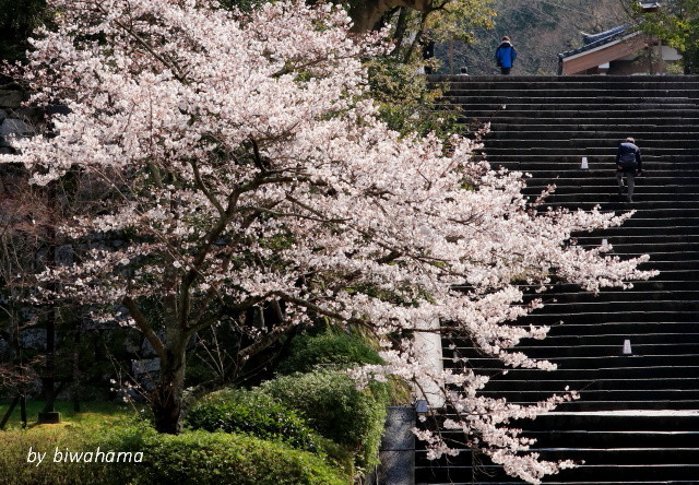 京都桜めぐり 知恩院~高台寺へ_b0055171_23461116.jpg